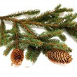 Pine branch with cones — Stock Photo