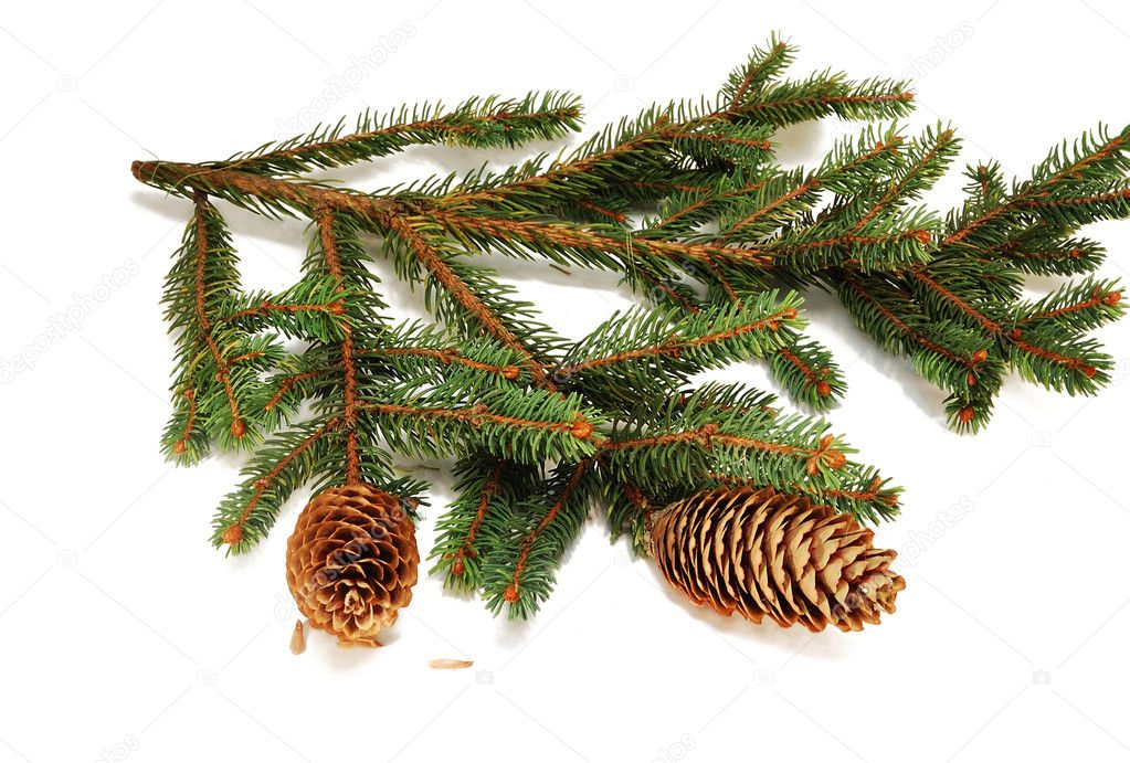 The branches of spruce with fir cones isolated on white background — Stock Photo #2233961