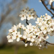 Flowering of a pear. Blooming time. - Stock Photo