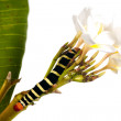 Caterpillar Brazhnik Pseudosphinx tetrio - Stock Photo