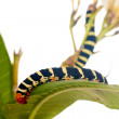 Caterpillar Brazhnik Pseudosphinx tetrio - Stok fotoraf