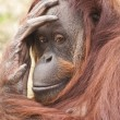 The monkey the orangutan looking — 图库照片