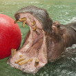 Hippopotamus playing with a ball - Stock Photo