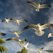 Seagulls — Stock Photo #1137492