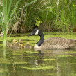 Canadian goose with young ones in the p — Stock Photo