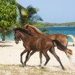 Running along the beach stallions - Stock Photo