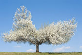Pear blossoming — Stock Photo