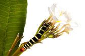 Caterpillar Brazhnik Pseudosphinx tetrio — Stock Photo