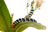 Caterpillar Brazhnik Pseudosphinx tetrio — Stock Photo