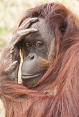 The monkey the orangutan looking — Stock Photo