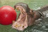 Hipopotam, grający z piłką — Zdjęcie stockowe