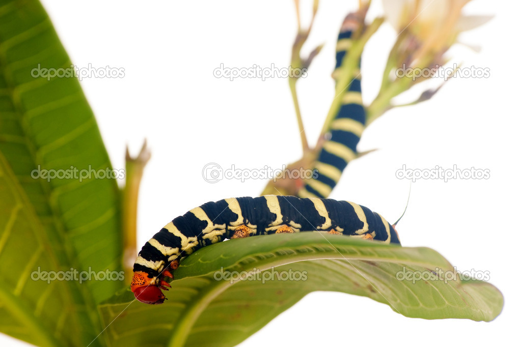 Caterpillar Brazhnik Pseudosphinx tetrio (Linnaeus) on green leaf  Stock Photo #1135815