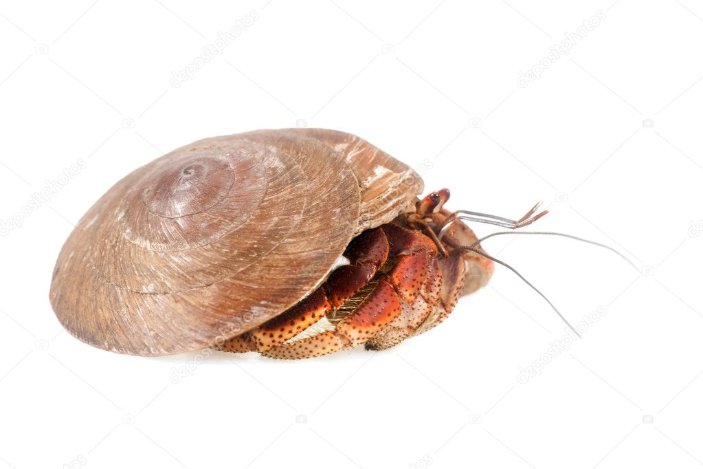 Hermit Crab Shell Art Hermit Crab in The Shell of a