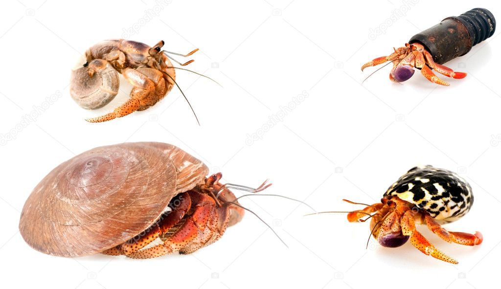 Four hermit crab: a sea shell, the shell of a snail, the coupling and the bare  Stock Photo #1139024