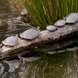 Stockfoto: Turtles in turn