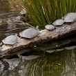 Stock Photo: Turtles in turn
