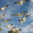 The seagull in flight — Stock Photo #1144035
