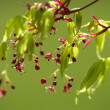 Stock Photo: Japanese Maple