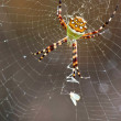 Stock Photo: Spider waiting victim. Silver Argiope