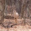 White-tailed deer in the woods — Stock Photo