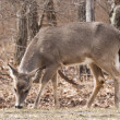 Stock Photo: White-tailed deer in woods
