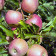Branch with apples — Foto de Stock