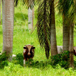 Three cows under the palm trees — Stock Photo