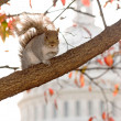 Squirrel on the background of the Capito — Stock Photo