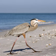 Royalty-Free Stock Photo: The greater blue heron important walks