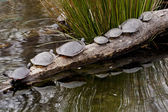 Turtles in turn — Stock Photo
