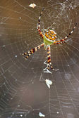 Spider waiting a victim. Silver Argiope — Stock Photo