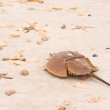 Stock Photo: Helmet-crab (Limulus polyphemus)