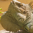 Royalty-Free Stock Photo: Portrait of the Iguana