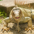 Portrait of the Iguana - Stock Photo