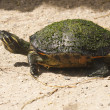 Red-eared slider (Latin Trachemys script — Stock Photo