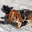 Game two dogs: Schnauzer and Basset - Stock Photo