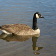 Canadian goose on the water - Stock Photo
