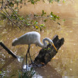 Egret hunting - Stock Photo