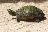 Red-eared slider (Latin Trachemys script — Foto Stock