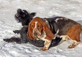 Game two dogs: Schnauzer and Basset — Stock Photo