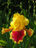Yellow and red iris on garden background — Stock Photo