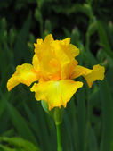 Yellow iris on garden background — Stock Photo
