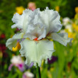 White iris on garden background — Stockfoto