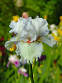 White iris on garden background — Stock Photo