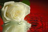 Wet rose — Stock Photo