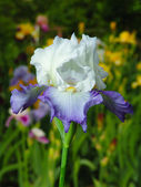 Blue and white iris on garden background — Stock Photo