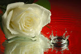 Wet rose — Stock Photo