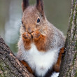 Curious squirrel — Stock Photo