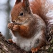 Curious squirrel - Stock Photo