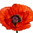 rode papaver bloesem — Stockfoto